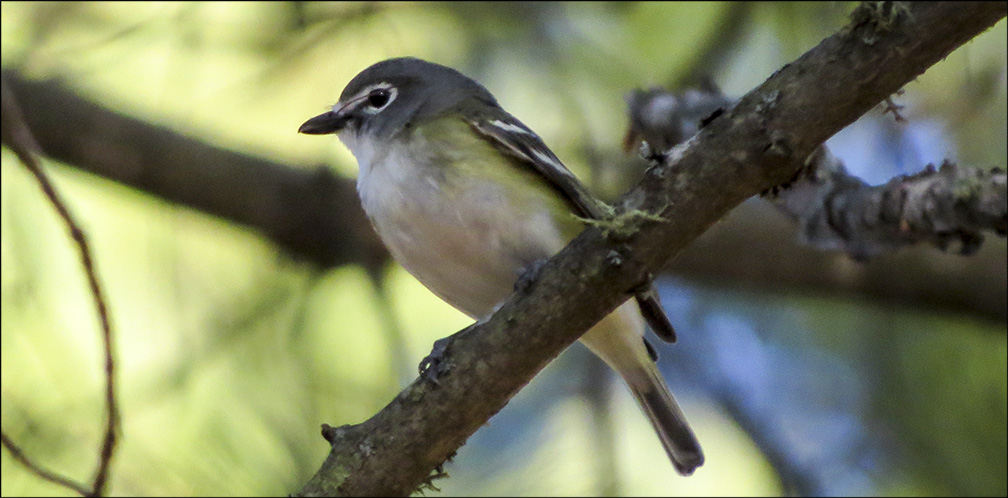 Birds of the Adirondack Park: Blue-headed Vireo on the Black Pond Trail (10 May 2016).