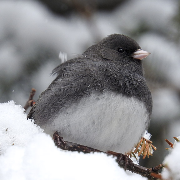 Birds of the Adirondack Park:  Dark-eyed Junco near Craig Wood Golf Course, Lake Placid (26 April 2016).
