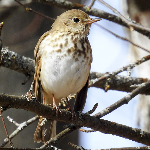 Birds of the Adirondack Park: Hermit Thrush at the Paul Smiths VIC (25 April 2016).