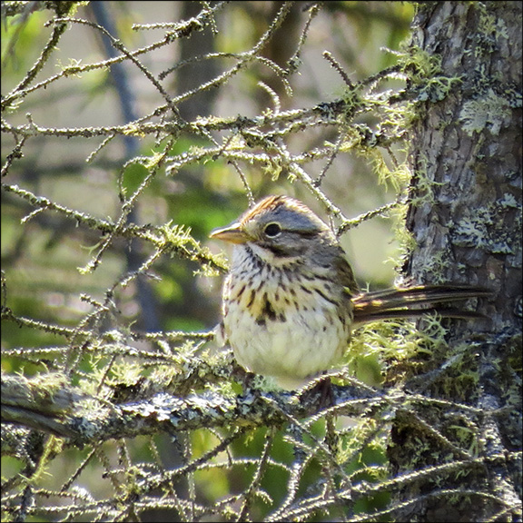Boreal Birds of the Adirondack Wetland: Lincoln's Sparrow on Bloomingdale Bog (5 July 2014).