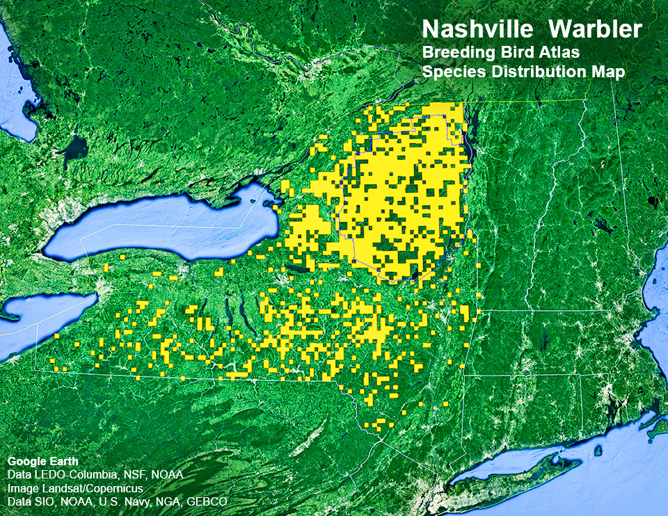 Adirondack Birds: Nashville Warbler | Oreothlypis ruficapilla