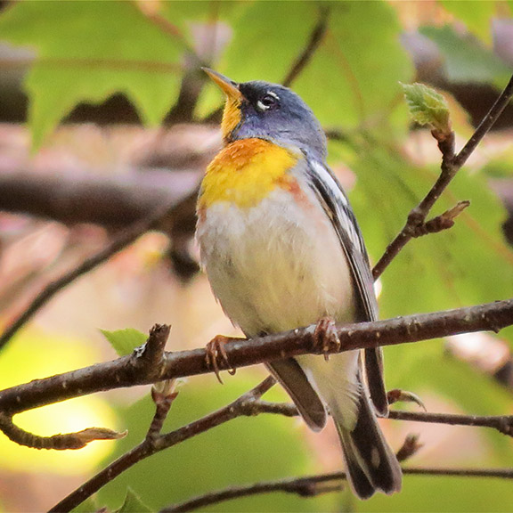 Birds of the Adirondack Park: Northern Parula on the Logger's Loop Trail (20 June 2015).