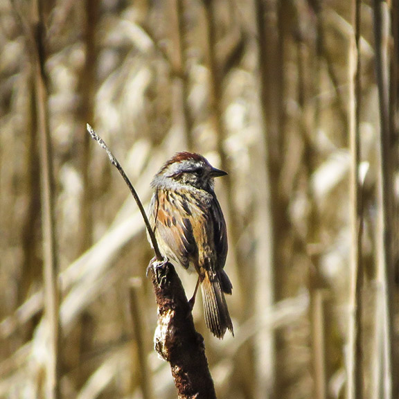 Birds of the Adirondack Park: Swamp Sparrow on Heron Marsh (29 April 2016).