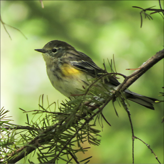 Birds of the Adirondack Park:  Yellow-rumped Warbler near the first overlook on the Barnum Brook Trail. (17 September 2014).