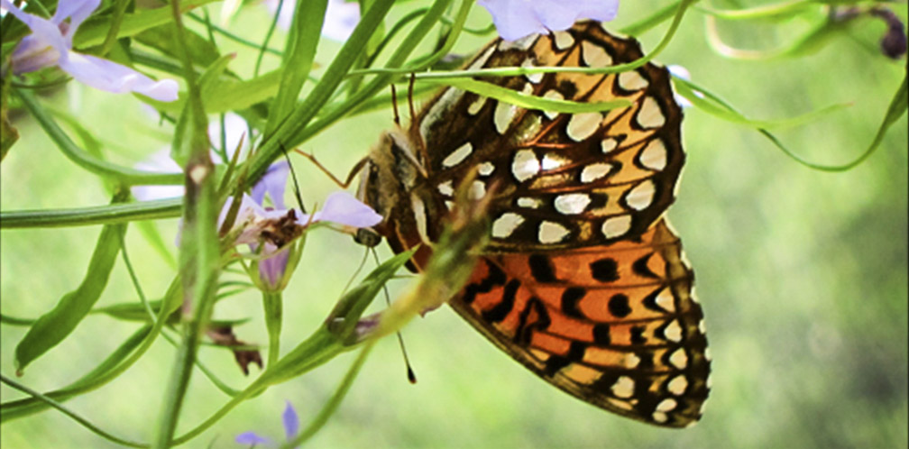 Butterflies of the Adirondack Park: Atlantis Fritillary at the Paul Smiths VIC Butterfly House (16 June 2012).