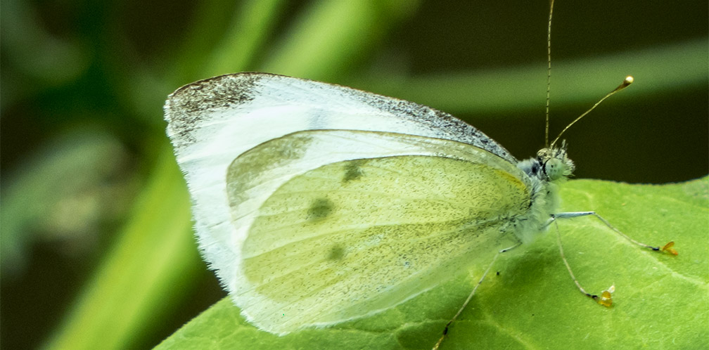 Butterflies of the Adirondack Park: Cabbage White at the Paul Smiths VIC Native Species Butterfly House (19 July 2014).