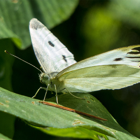 Butterflies of the Adirondack Park: Cabbage White at the Paul Smiths VIC Native Species Butterfly House (6 July 2013).