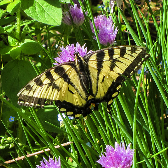 Butterflies of the Adirondack Park: Canadian Tiger Swallowtail at the Paul Smiths VIC (9 June 2012).