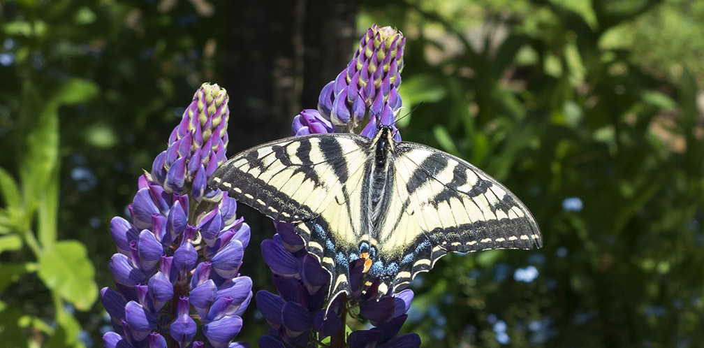Butterflies of the Adirondack Park: Canadian Tiger Swallowtail at the Paul Smiths VIC Native Species Butterfly House (5 July 2014).
