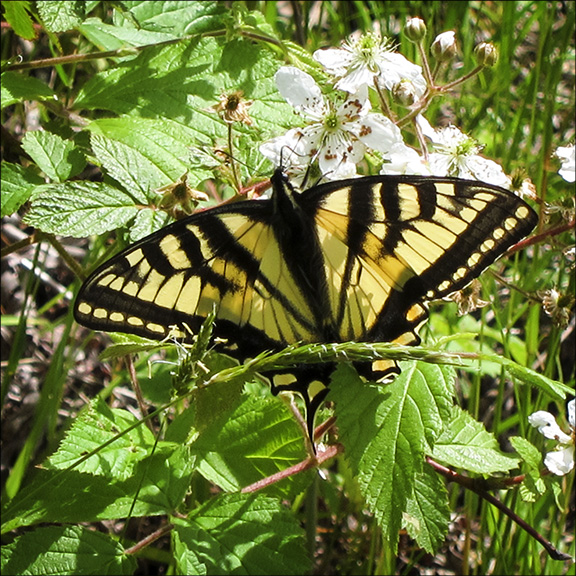 Adirondack Butterflies:  Canadian Tiger Swallowtail at the Paul Smiths VIC (9 June 2012)