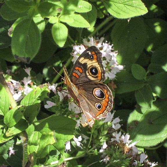 Butterflies of the Adirondack Park: Common Buckeye at the Paul Smiths VIC Native Species Butterfly House (25 August 2011).
