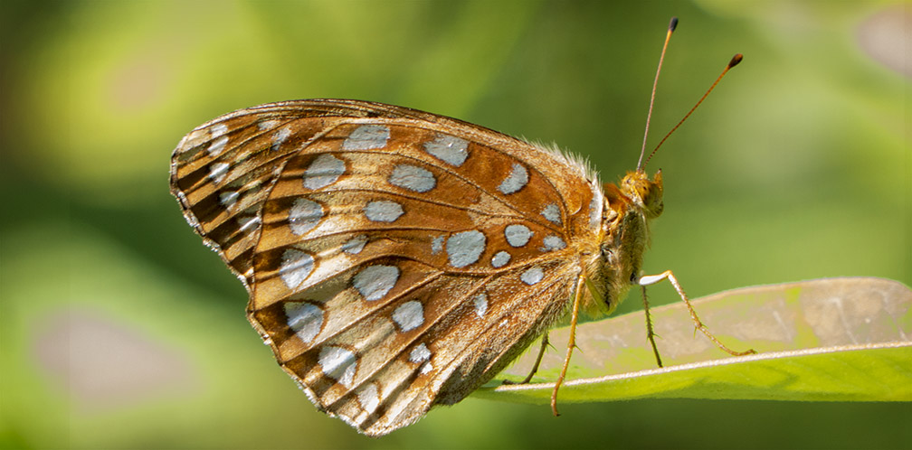 Butterflies of the Adirondack Park: Great Spangled Fritillary at the Paul Smiths VIC Native Species Butterfly House (1 August 2014).