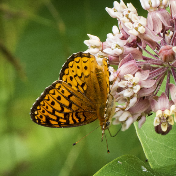 Butterflies of the Adirondack Park: Great Spangled Fritillary in the Paul Smiths VIC Native Species Butterfly House (19 July 2014).