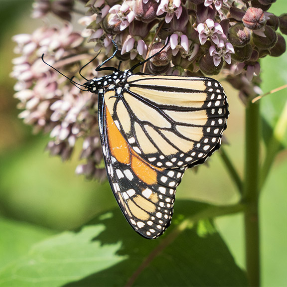 Butterflies of the Adirondack Park: Monarch at the Paul Smiths VIC Butterfly House (12 July 2014).