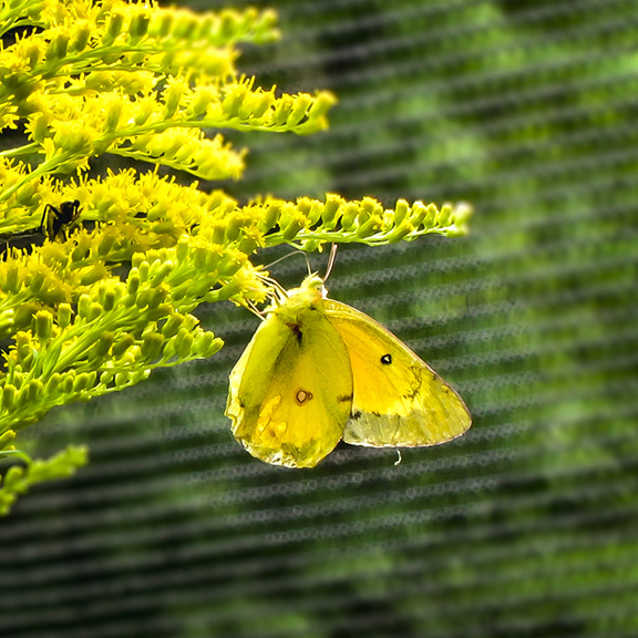 Butterflies of the Adirondack Park: Orange Sulphur at the Paul Smiths VIC Native Species Butterfly House (28 July 2012).