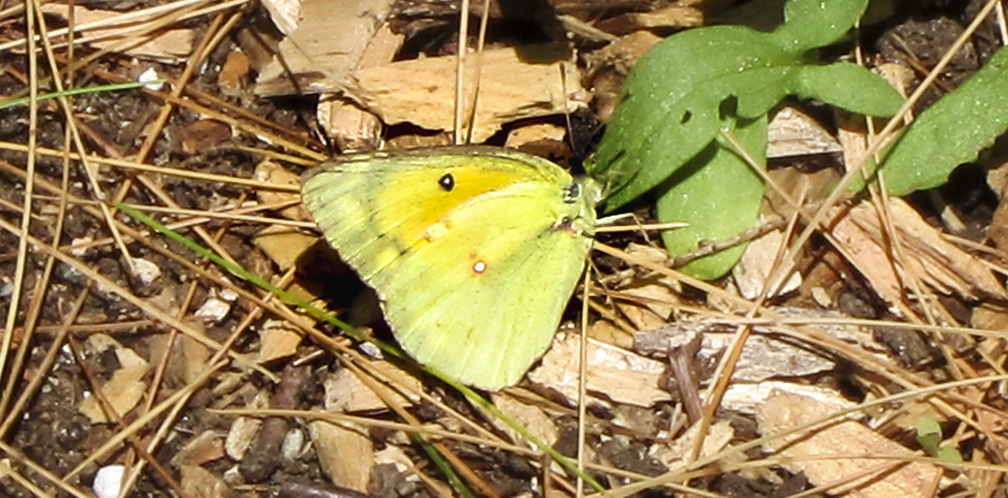 Butterflies of the Adirondack Park: Orange Sulphur at the Paul Smiths VIC Native Species Butterfly House (28 June 2012).