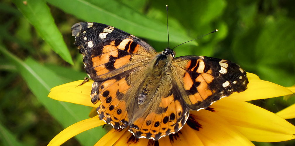 Butterflies of the Adirondack Park: Painted Lady at the Paul Smiths VIC Native Species Butterfly House (19 July 2012).