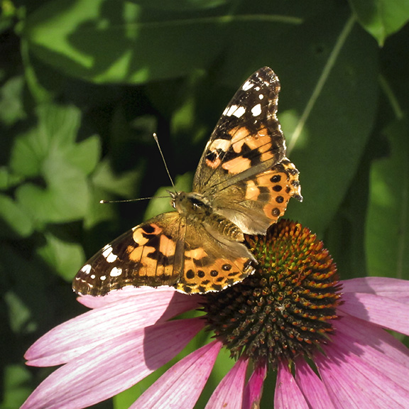 Butterflies of the Adirondack Park: Painted Lady at the Paul Smiths VIC Native Species Butterfly House (20 August 2012).