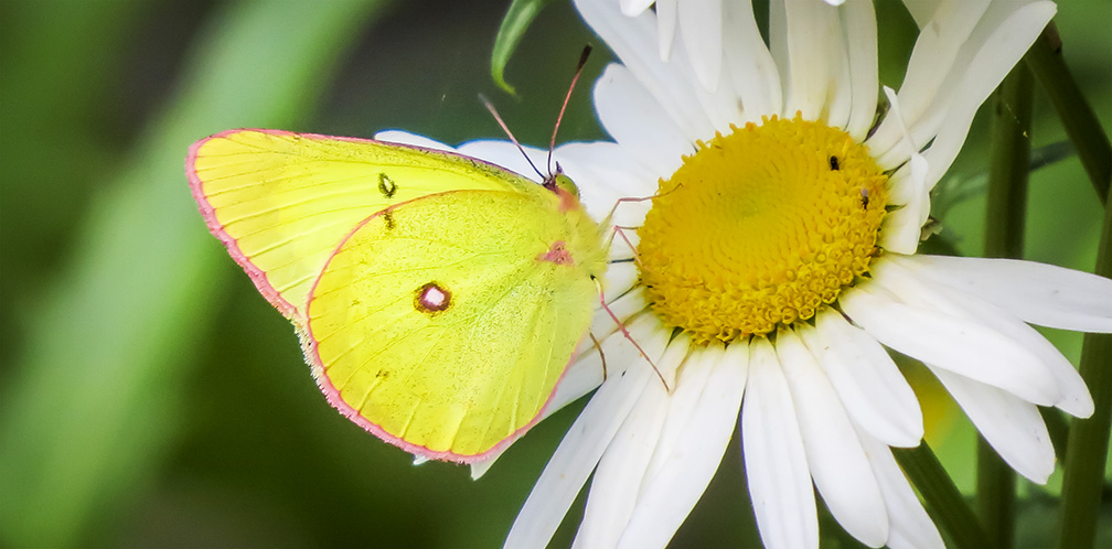 Butterflies of the Adirondack Park: Pink-edged Sulphur at the Paul Smiths VIC Native Species Butterfly House (26 June 2015).