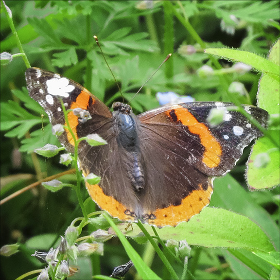 Butterflies of the Adirondacks: Red Admiral at the Paul Smiths VIC Butterfly House (4 July 2015)