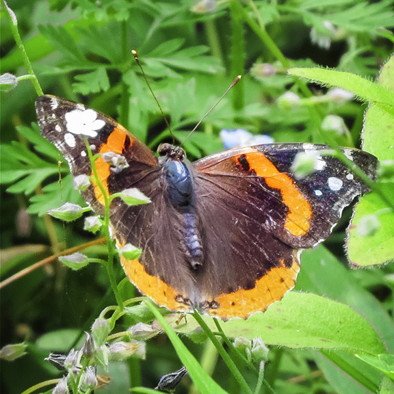 Butterflies of the Adirondack Park: Red Admiral at the Paul Smiths VIC Native Species Butterfly House (4 July 2015).