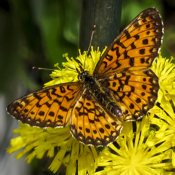 Butterflies of the Adirondack Park: Silver-bordered Fritillary at the Paul Smiths VIC Native Species Butterfly House (16 June 2012).
