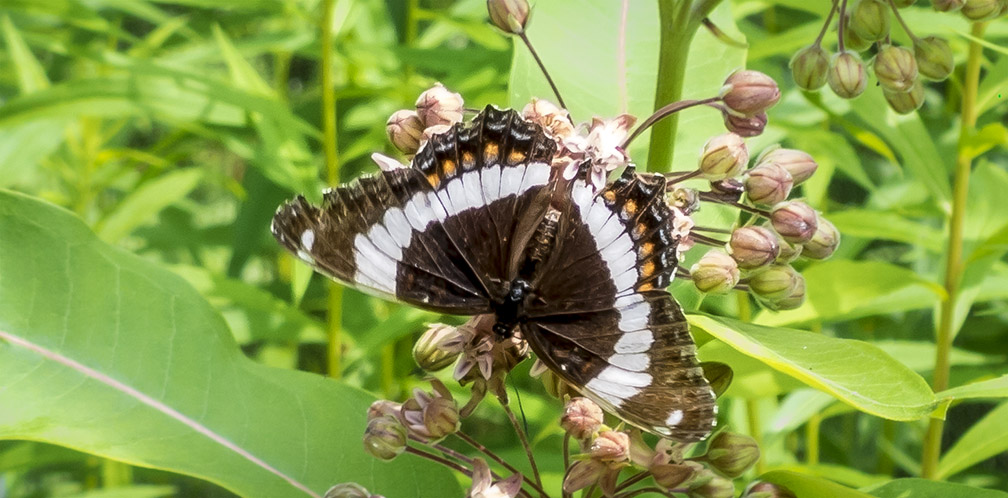 Butterflies of the Adirondack Park: White Admiral at the Paul Smiths VIC Native Species Butterfly House (19 July 2014).