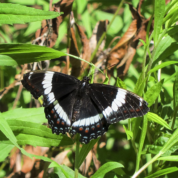Butterflies of the Adirondack Park: White Admiral at the Paul Smiths VIC Native Species Butterfly House (28 June 2012).