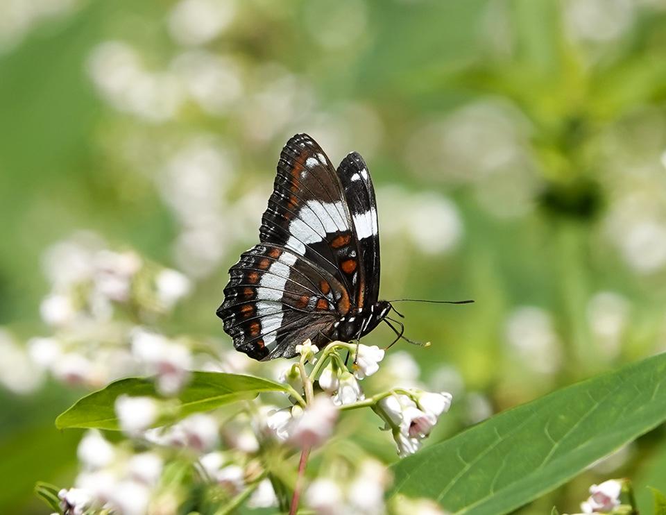 Adirondack Butterflies: White Admiral | Limenitis arthemis