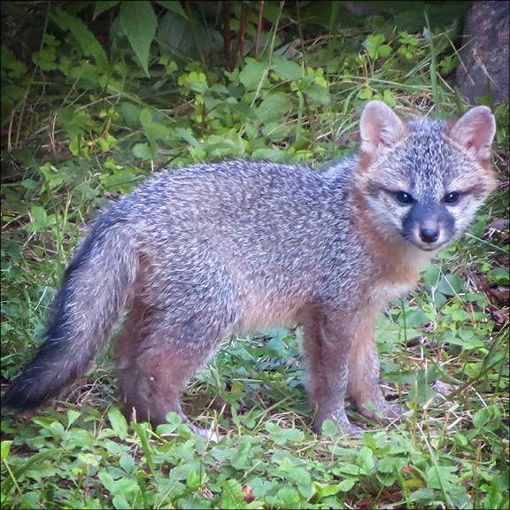 Mammals of the Adirondack Park: Gray Fox near Country Club Lane, Lake Placid (8 July 2015).