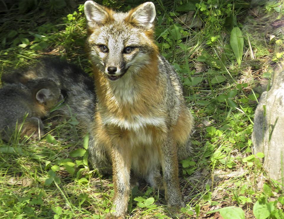 Adirondack Mammals: Gray Fox   Urocyon cinereoargenteus