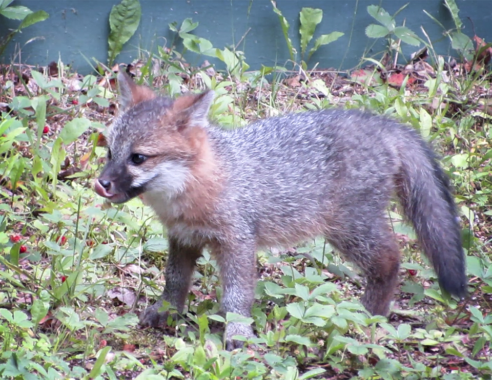Hard Times For Foxs Version Of Fair And >> Adirondack Mammals Gray Fox Urocyon Cinereoargenteus
