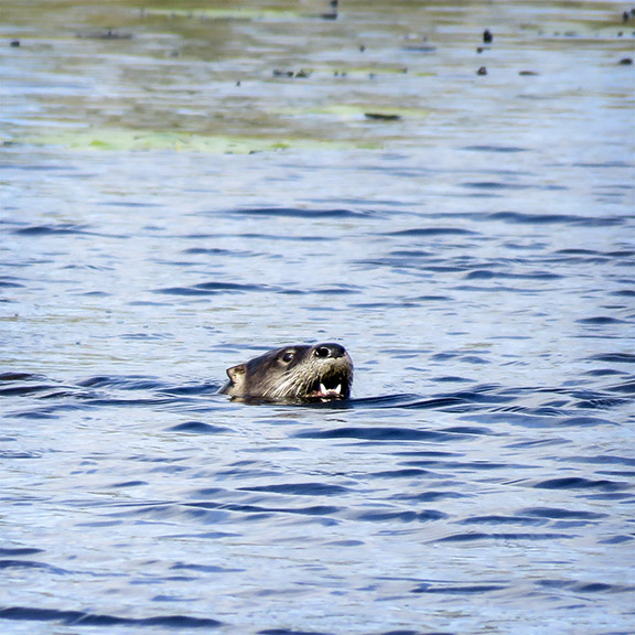 Mammals of the Adirondack Park: North American River Otter on Heron Marsh (14 May 2016).
