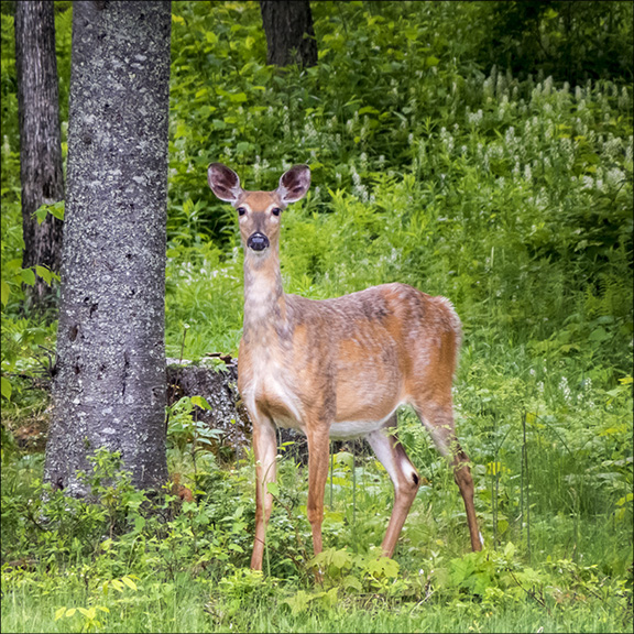 Adirondack Mammals: White-tailed Deer near Craig Wood Golf Course (10 June 2014).