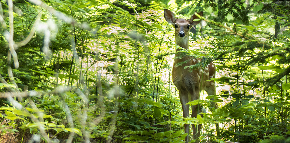 Mammals of the Adirondack Park: White-tailed Deer on the Heron Marsh Trail (18 June 2013)