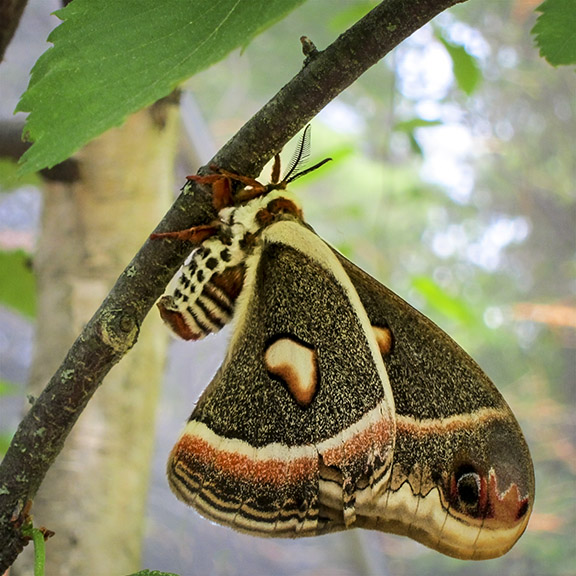 Moths of the Adirondack Park: Cecropia Moth at the Paul Smiths VIC Butterfly House (16 June 2012).