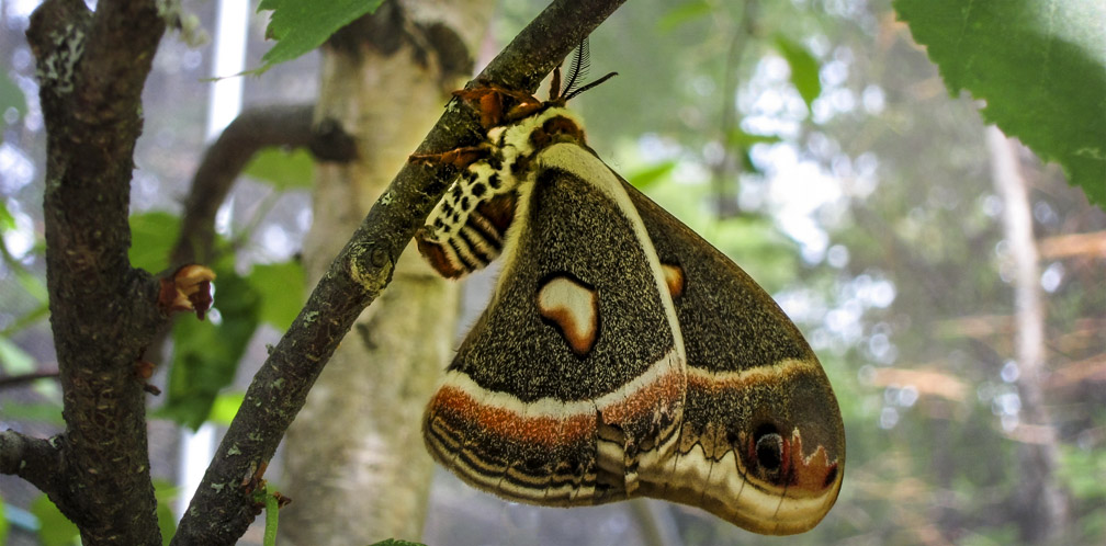 Moths of the Adirondack Park: Cecropia Silkmoth at the Paul Smiths VIC Native Species Butterfly House (16 June 2012).
