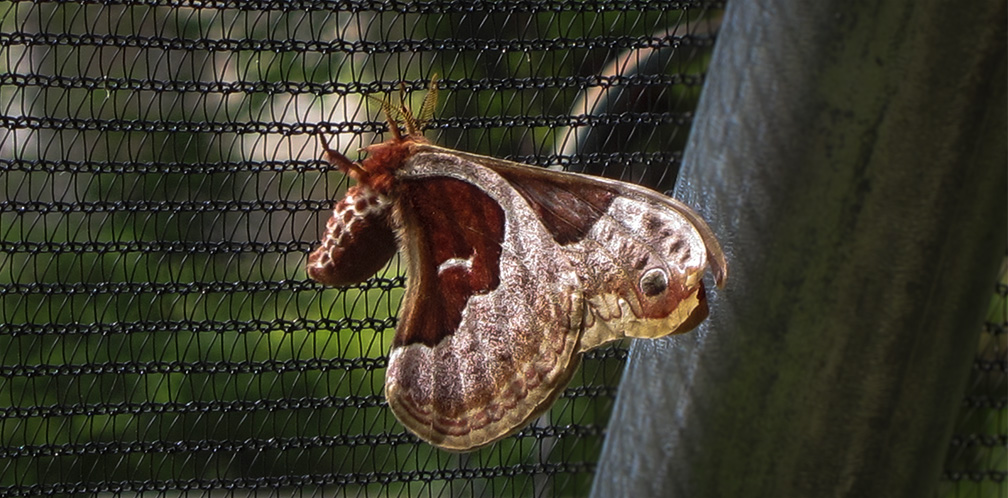Moths of the Adirondack Park: Promethea Silkmoth at the Paul Smiths VIC Native Species Butterfly House (16 June 2012).