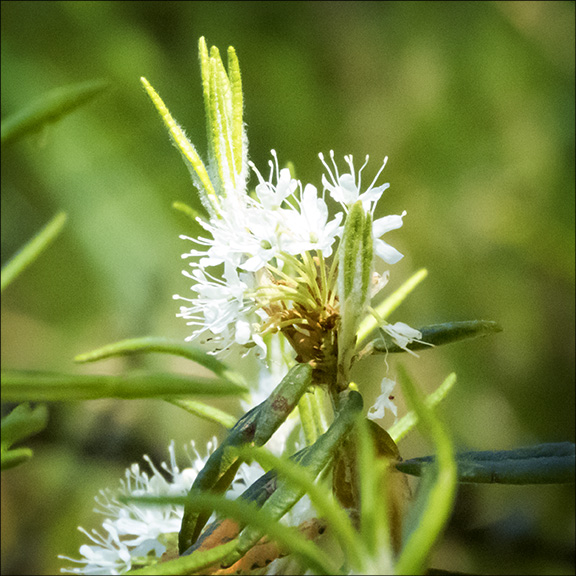 Shrubs of the Adirondack Park: Labrador Tea on Barnum Bog (18 June 2016).