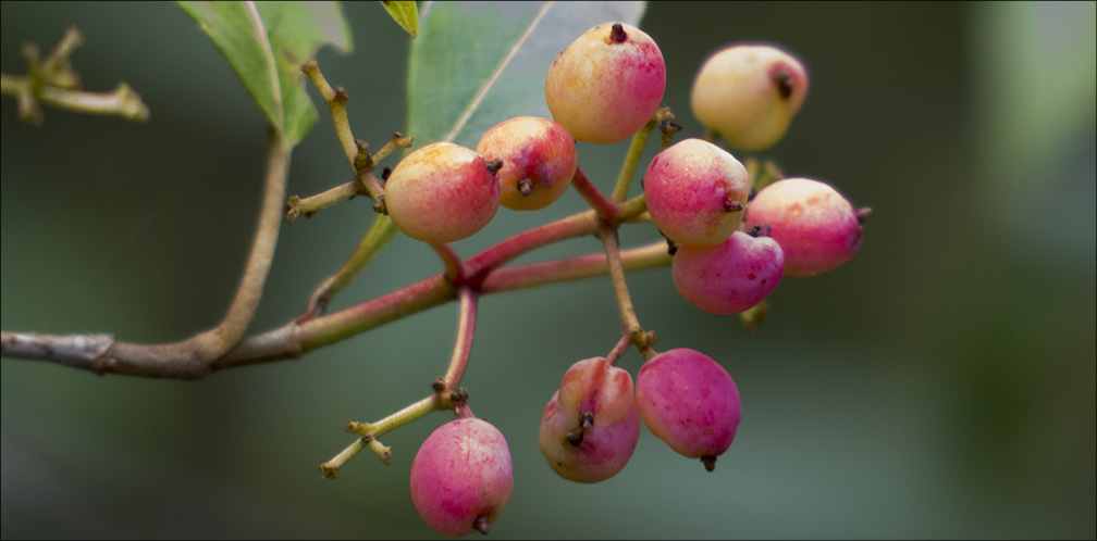 Adirondack Shrubs: Northern Wild Raisin on the Heron Marsh Trail (14 September 2013).