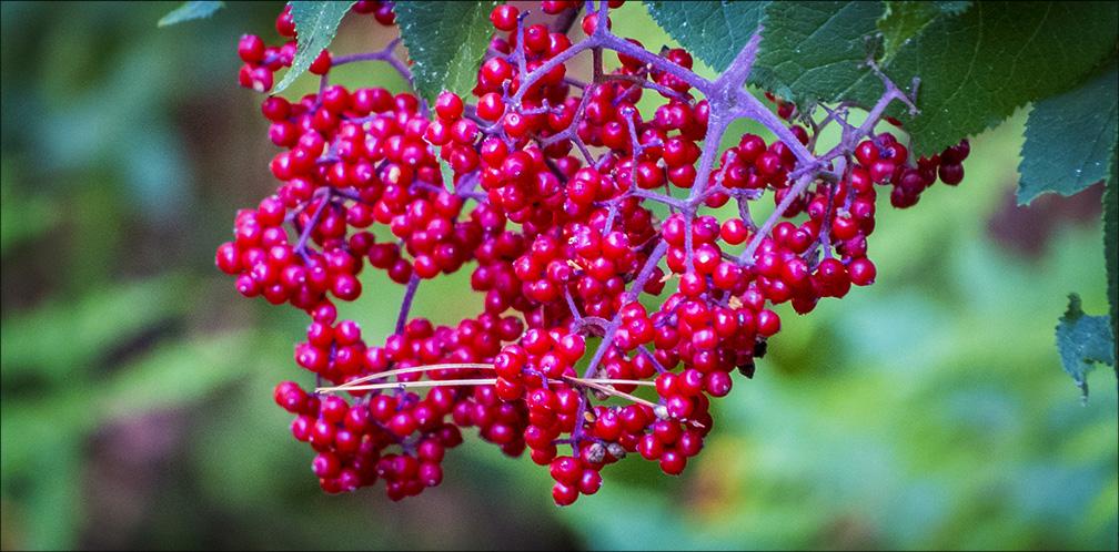 Shrubs Of The Adirondacks Red Elderberry Sambucus Racemosa