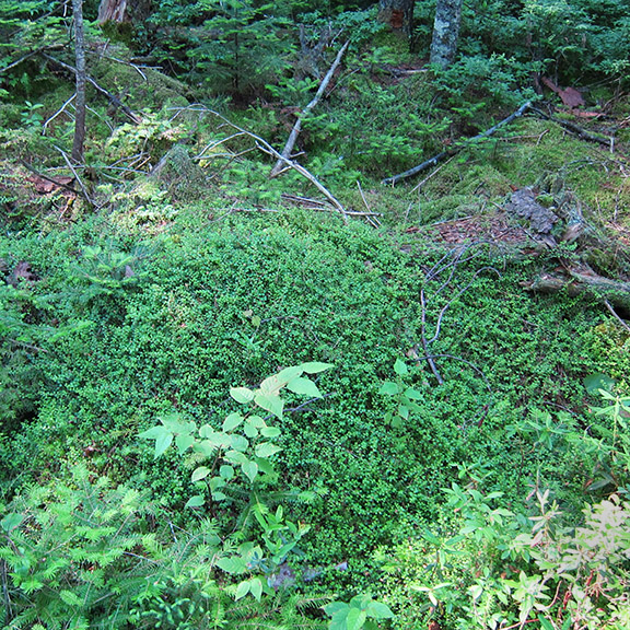 Wildflowers of the Adirondack Park: Creeping Snowberry along the Boreal Life Trail boardwalk (15 July 2011).