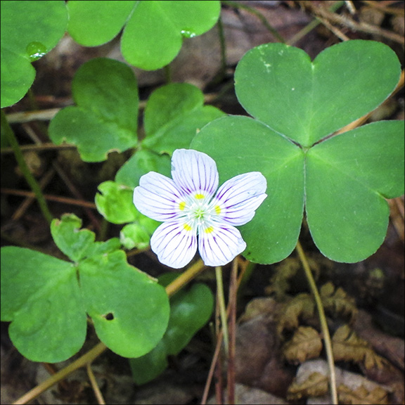 Wildflowers of the Adirondack Park: Common Wood Sorrel on the Boreal Life Trail (7 June 2012).