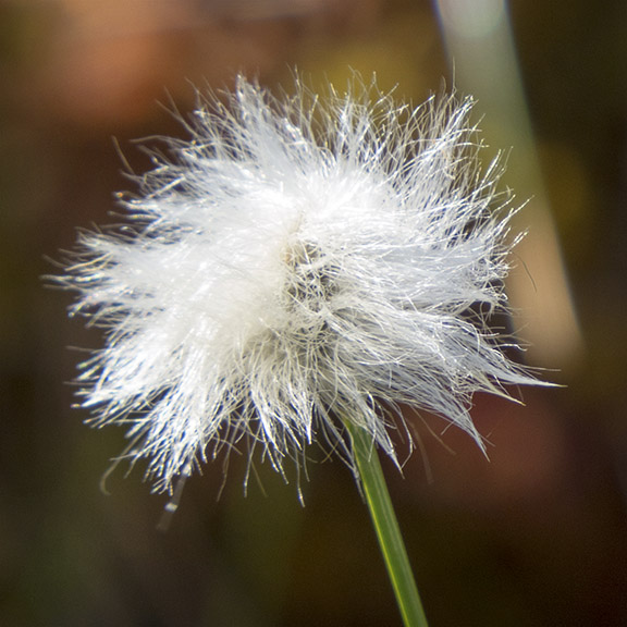 Plants of Adirondack Wetlands:  Cottongrass on Barnum Bog (16 June 2015).