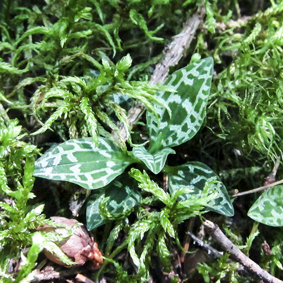 Wildflowers of the Adirondack Park: Dwarf Rattlesnake Plantain on the upland portion of the Boreal Life Trail (30 July 2012).
