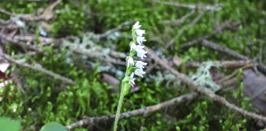 Wildflowers of the Adirondack Park: Dwarf Rattlesnake Plantain blooming on the upland portion of the Boreal Life Trail (30 July 2012).