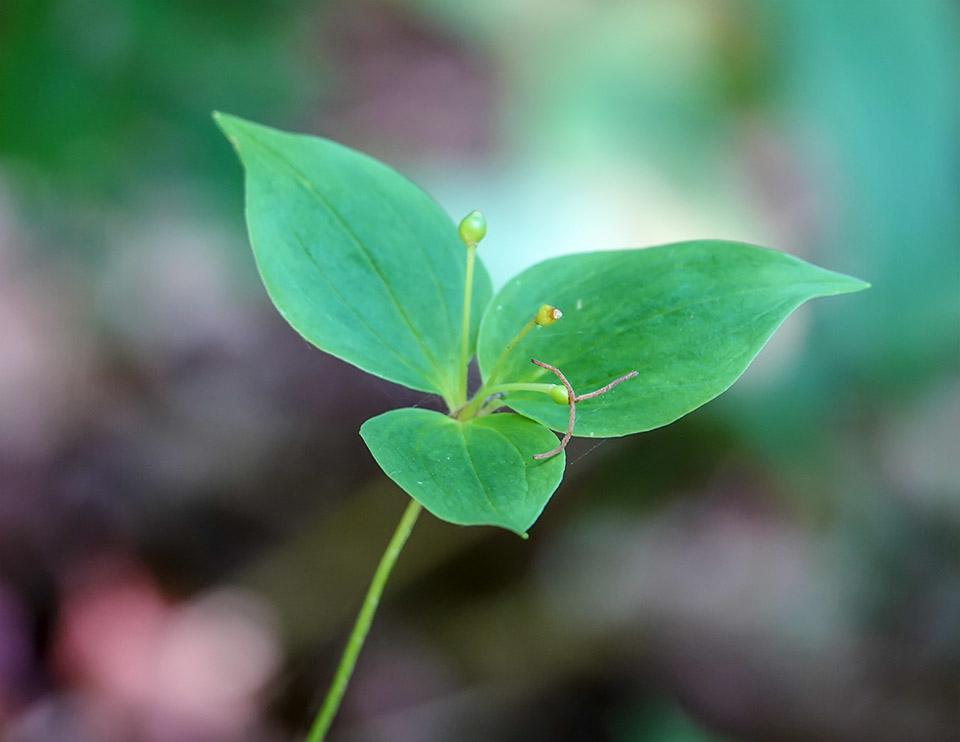 Adirondack Wildflowers: Indian Cucumber-root | Medeola virginiana