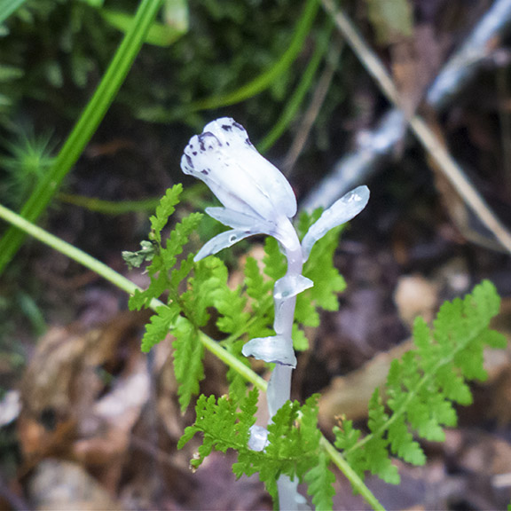Wildflowers of the Adirondack Park: IIndian Pipe on the Boreal Life Trail (21 June 2014).