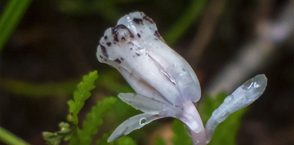 Wildflowers of the Adirondack Park: Indian Pipe on the Woods and Waters Trail (23 August 2014).