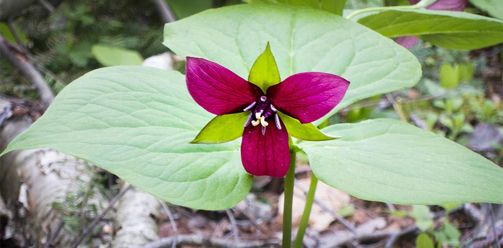 Adirondack Wildflowers Purple Trillium Trillium Erectum
